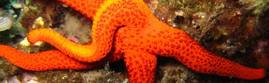 estrella de mar desovando